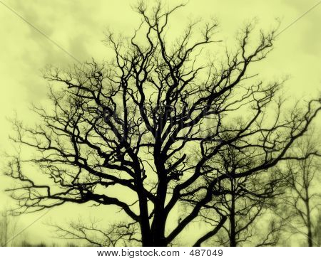 Bare Oak, Sepia
