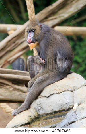 Mandrill-Affen