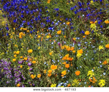 Desert Wildflowers