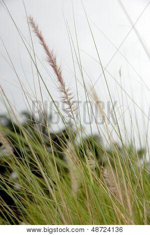 Garden Field Of Poaceae Grass In Evening.