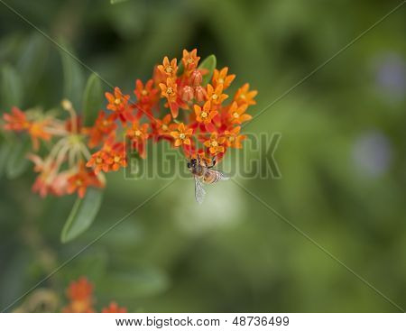 Bee Polinating An Orange Flower