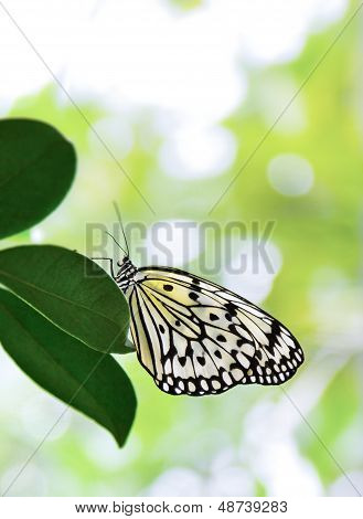 Tree Nymph Butterfly, Idea leuconoe