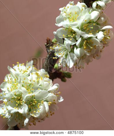 Blooming Plum Tree Branch -(prunus Cultivar)