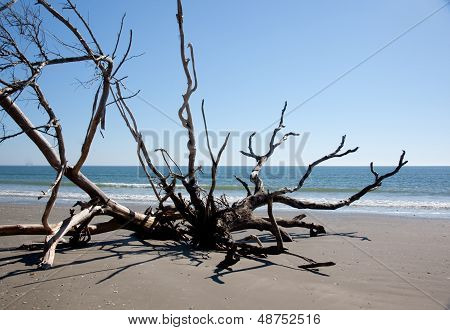 Dead Live oak tree in sand