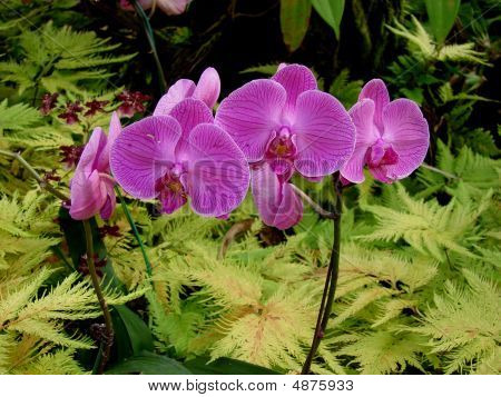 Cluster Purple Orchids