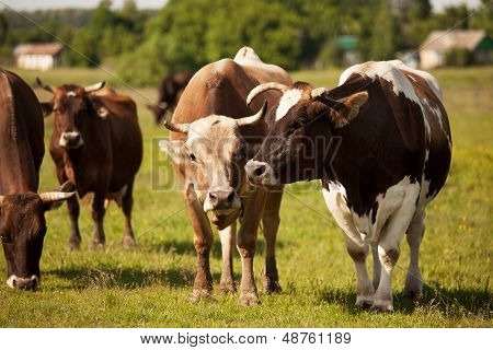 Cows In The Herd Graze On A Green Meadow