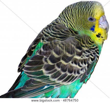 A Budgie bird sitting