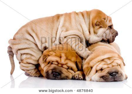 Three Shar Pei Baby Dogs