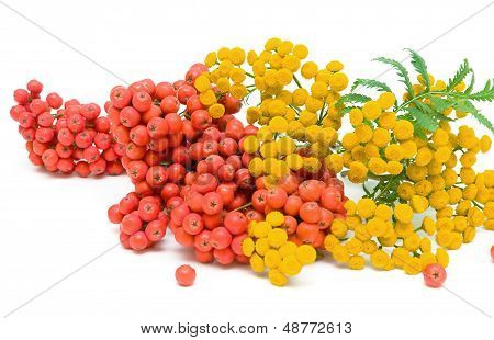 Tansy (tanacetum Vulgare) Flowers And Berries Of Mountain Ash Isolated On A White Background