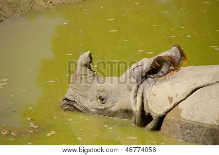 Rhinoceros Relaxing In Water During Hot Day