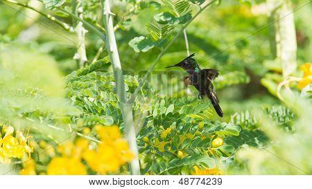 Antillean Crested Hummingbird (orthorhyncus Cristatus)