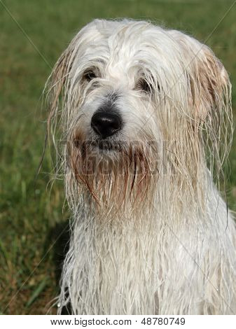 Wet uncommon breed of dog Coton de Tulear