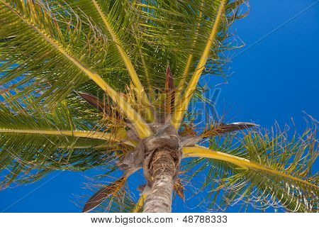 Close-up Of Tropical Coconut Palm Tree With Yellow Coconut Against The Blue Sky