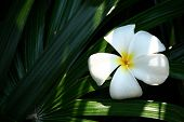 pic of champa  - Tropical flower from or country - JPG