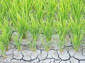 stock photo of water shortage  - This is a photo of paddy cracked for water shortage - JPG