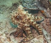 foto of octopus  - Common reef octopus underwater camouflaged on tropical coral - JPG