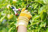 Hand in glove with gardener shears near apple tree
