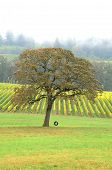 stock photo of tire swing  - Old tire swing in hanging from a white Oak tree in a fall colored winery in the Willamette Valley near Portland Oregon