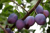picture of plum fruit  - plum - JPG