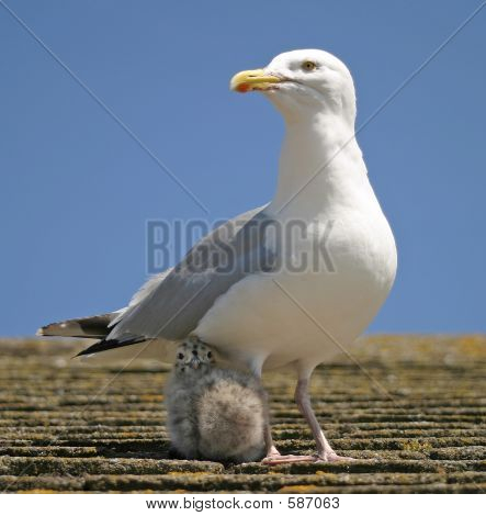 Mother & Chick