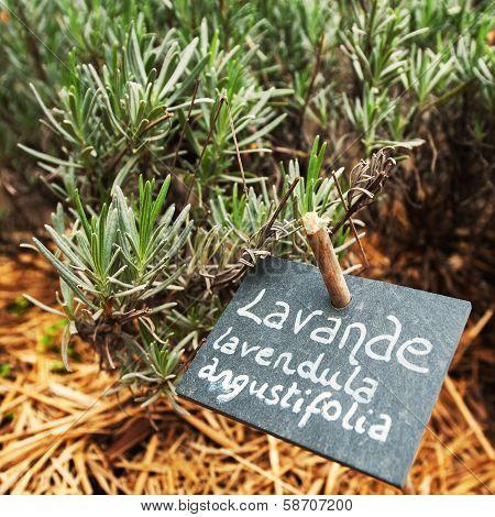 Culinary Lavender In Garden