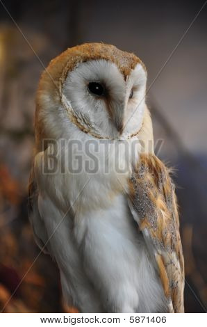 Owl Perching Close Up