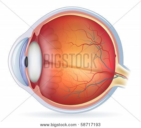 Detailed Human Eye Anatomical Illustration