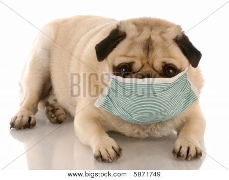 Pug Wearing Medical Mask