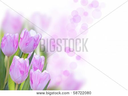 Rosa Flower Background