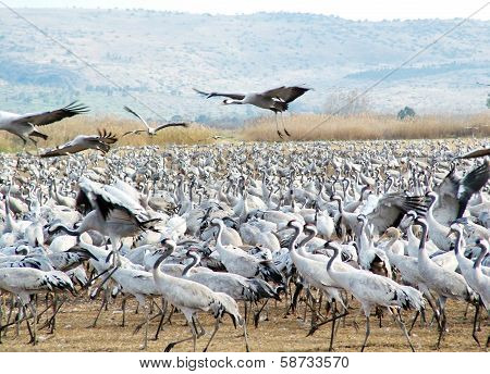 Common Cranes At Hula Valley