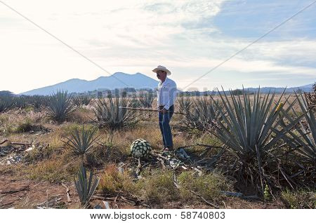 Jimador In Blue Agave Field