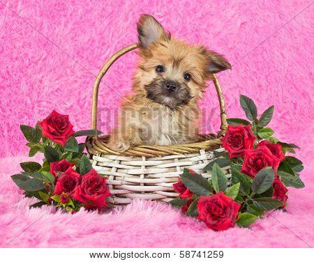 Cute Little Yorki-poo Puppy