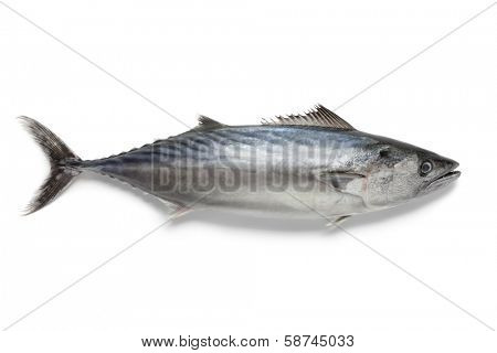 Singlre fresh bonito fish at white background