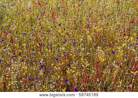 Urricalaria Bifida And Drosera Indica Flower