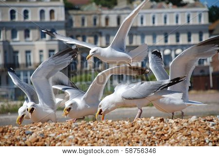 European Herring Gulls (Larus Argentatus) scavenging chips on the beach at Folkestone in Kent, England.