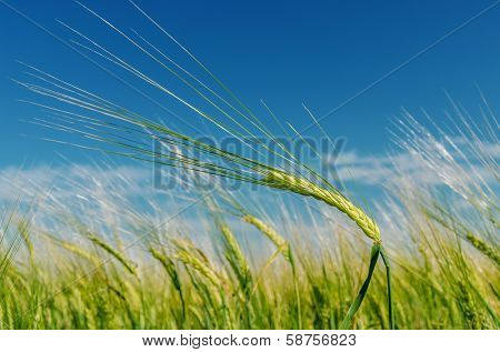 field with green spica under blue sky