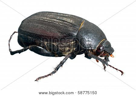 Beetle Chafer
