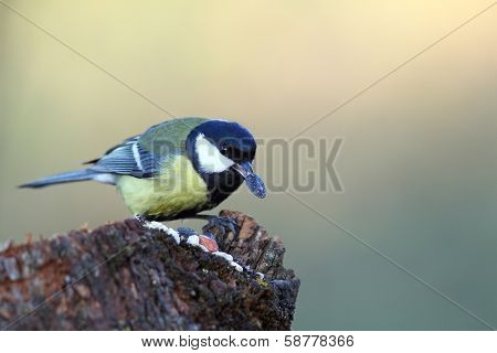 Hungry Great Tit Eating Seed