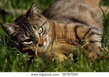 Cat Rolling In Grass