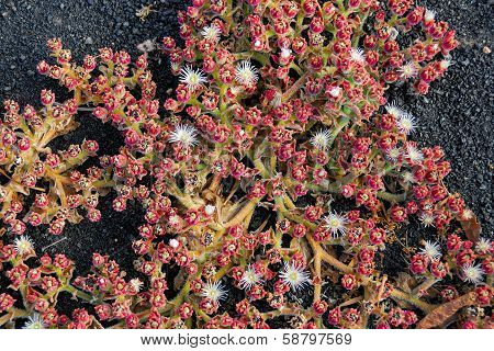 Prostrate Succulent Crystalline Iceplant