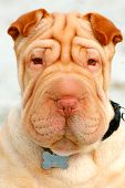pic of shar-pei puppy  - This is an image of an adorable shar - JPG