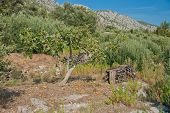 Fig Tree And Olive Trees - Croatia