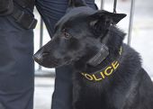 NYPD transit bureau K-9 German Shepherd providing security on Broadway during Super Bowl XLVIII week