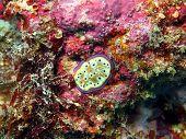 picture of cebu  - Underwater inhabitants of sea depths of strait Cebu, island Maktan, sea slug ** Note: Soft Focus at 100%, best at smaller sizes - JPG