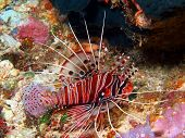 picture of cebu  - Underwater inhabitants of sea depths of strait Cebu, island Maktan, scorpionfish ** Note: Soft Focus at 100%, best at smaller sizes - JPG