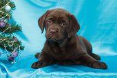 pic of chocolate lab  - chocolate labrador retriever puppy  - JPG