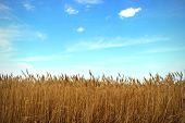 image of stratus  - Natural landscape with grove of reeds on background - JPG