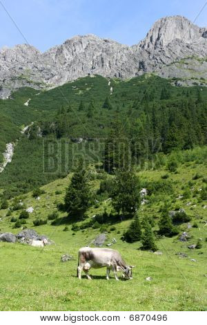 Cows In Alps