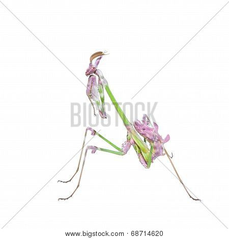 Vibrant Colored Tropical Raptor Insect Mantis
