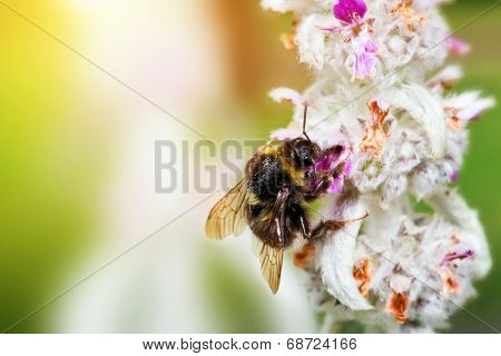 Bumblebee or bumble bee sitting and loading pollen on the flower in a sunny garden.